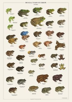 'Frogs & Toads of Europe' Poster by Ilian Velikov Room Posters, Poster Wall, Poster Prints, Photo Wall Collage, Picture Wall, Nature Posters, Frog Art, Cute Frogs, Animal Posters