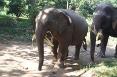 Walking With Elephants in Thailand in Travel and more on lipulse.com, based on Long Island, New York