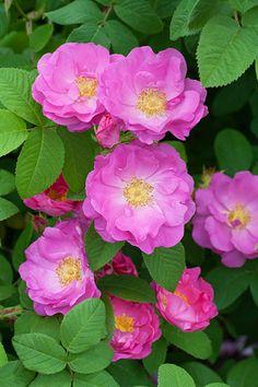 'Princesse de Tripoli' rose