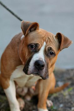 """TO BE DESTROYED THUR 1/9/14- Brklyn Ctr CHLOE Female tan & wht amer bulldog mix A0988162 Pulls on leash & shy but friendly during intake. Came in w/ her baby Zoey who has been adopted. Calm & relaxed during handling,became fearful while playing tag. Stiff & cannot be pushed from food bowl, NO aggression. Common in strays (survival), retrainable! Did well w/ """"paw squeeze"""" & dog to dog meeting! This beauty deserves a chance at a life where she knows what love & care are really like for once!"""