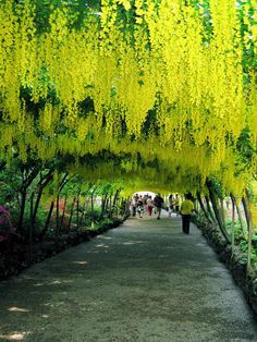 GORGEOUS! Laburnum Archway, Great Britain