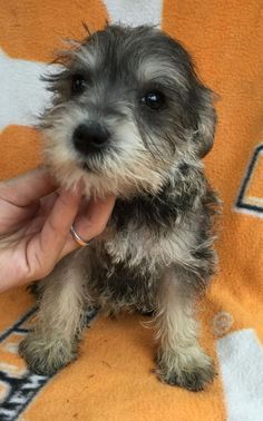 Ranked as one of the most popular dog breeds in the world, the Miniature Schnauzer is a cute little square faced furry coat. Baby Puppies, Puppies For Sale, Cute Puppies, Cute Dogs, Dogs And Puppies, Doggies, Schnauzer Grooming, Miniature Schnauzer Puppies, Schnauzer Puppy
