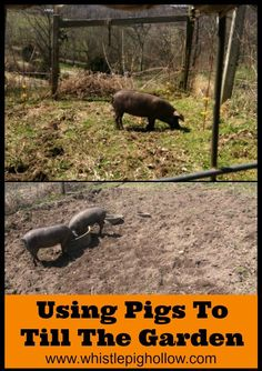 Using Pigs to Till the Garden {And A Little Hot Wire Training} | Whistle Pig Hollow