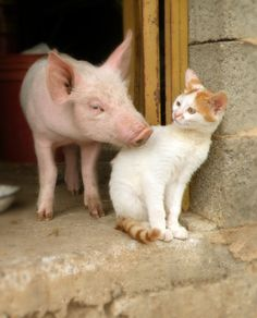 piglet and barn cat