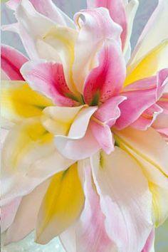 Ein wunderschönes Bild von #Yourlily #Lilie #Inspiration #hautnah