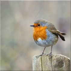 Whenever mum was gardening a robin would sit on the handle of her fork waiting for worms. All Birds, Little Birds, Beautiful Birds, Animals Beautiful, Animals And Pets, Cute Animals, European Robin, Image Nature, Robin Bird