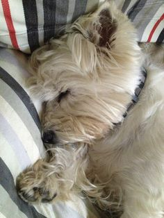 Animals And Pets, Baby Animals, Cute Animals, Cairn Terrier, Terrier Dogs, Adorable Puppies, West Highland White, West Highland Terrier, White Terrier