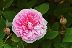 Portlandros, Rosa 'Mme Boll' Garden Shrubs, Flower Beds, Perennials, Planters, Backyard, Gardening, Garden Ideas, Succulents, Roses