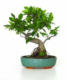 Bonsaï ficus 30cm Bonsai Ficus, Deco Design, Decoration, Plants, Decor, Decorations, Plant, Decorating, Dekoration