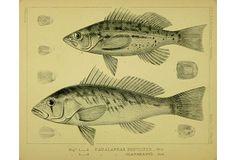 Sea Bass, 1855 on OneKingsLane.com
