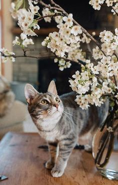 7 Things You Should Know That Could Save Your Cat's Life Yes, plants are fun to have in the house and your kitty may absolutely love the greenery. But remember, a surprising number of household plants are actually toxic and life-threatening to your kitty. Cute Cats And Kittens, Cool Cats, Kittens Cutest, Ragdoll Kittens, Tabby Cats, Funny Kittens, Bengal Cats, Pretty Cats, Beautiful Cats