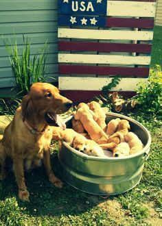Mama and her golden retriever puppies