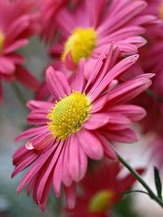 Korean Chrysanthemums