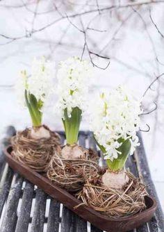 Jacintes blanches dans de petits nids