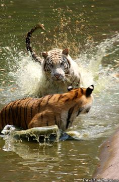Tigers Playing Water Tag in Jakarta, Indonesia Photo by Anthony Cramp