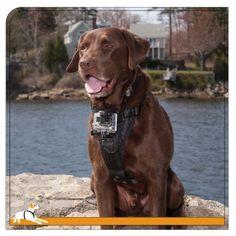 Kurgo Products - Tru-Fit Smart Harness with Camera Mount, $35.00 (http://www.kurgostore.com/dog-harnesses/tru-fit-smart-harness-with-camera-mount/)
