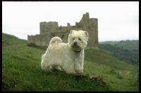West Highland White Terrier (Westie) puppy