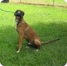 Rockville, MD - Shepherd (Unknown Type)/Hound (Unknown Type) Mix. Meet Fred, a dog for adoption. http://www.adoptapet.com/pet/16756030-rockville-maryland-shepherd-unknown-type-mix