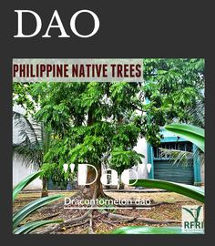 """DAO (Dracontomelon dao) This typhoon-rescilent tree is now becoming rare due to logging. Years ago, you will always see a Dao or 'Pacific Walnut' in forests all over the country. """"Protect our trees, our forests- our source of life!"""" #PhilippineNativeTrees #NativeTrees #Rainforestation #KeepingitNative#ForestProtection (c) Philippine Natie Trees 101: Up Close and Personal July 28, 2016 Forest Plants, July 28, Wood Tree, Dog Paintings, Flowering Trees, Forests, Landscape Architecture, Trees To Plant, Philippines"""