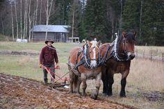 Professional horse logger Miika Åfelt ploughing with Swedish Ardennais Terttu and Tarsan. Shire Horse, Horse Drawn, Draft Horses, Small Towns, Beautiful Landscapes, Trekking, Finland, Equestrian, Feathers