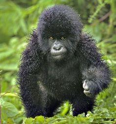 what a cute baby gorilla