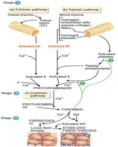 The intrinsic and extrinsic pathways of blood clotting (coagulation)