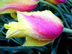 #Tulip #Pink #Yellow [v/Flickr]