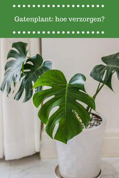 Monstera Deliciosa, Plant Art, Houseplants, Plant Leaves, Herbs, Flowers, Gardening, Dragon Flies, Ideas