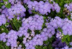 Resultado de imagen de flor ageratum