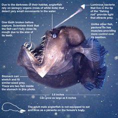 Black Seadevil, Melanocetus johnsonii via latimes #Fish #Black_Seadevil #Angler_Fish