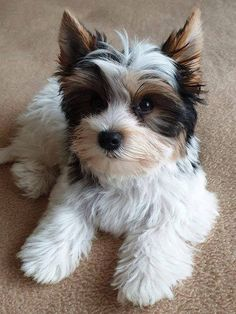 Cute Teacup Puppies, Cute Little Puppies, Cute Dogs And Puppies, Baby Dogs, Kittens And Puppies, Cute Cats And Dogs, I Love Dogs, Biewer Yorkie, Yorkie Puppy