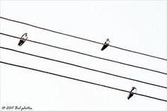 Andorinhas... Série: Aves
