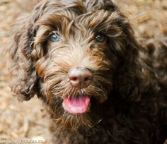 Oh so handsome chocolate Australian labradoodle puppy boy <3