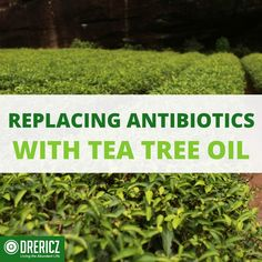 Antibiotics are falling worldwide creating SuperBugs resistant to drugs. Learn how tea tree oil may be the answer!