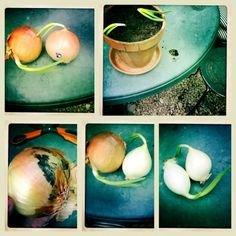 Side project: Planting sprouted pantry onions to grow the greens.