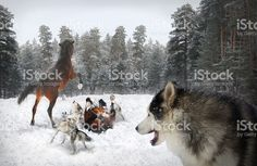 pack of wolves and horses royalty-free stock photo