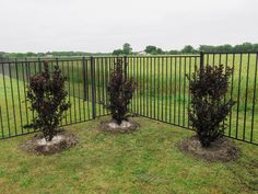 Grouping of Black Diamond Crape Myrtles planted in a backyard by Treeland Nursery. Garden Shrubs, Garden Landscaping, Crepe Myrtle Landscaping, Myrtle Tree, Black Leaves, Yard Design, Flower Beds, Red Flowers, Black Diamond