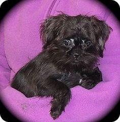 Joplin Mo Brussels Griffon Shih Tzu Mix Meet Roxy A Puppy For Adoption Brussels Griffon Puppy Adoption Pet Adoption