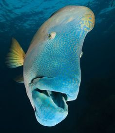 Maori (humphead) wrasse Chelinus undulatus at Opal Reef Great Barrier Reef Australia