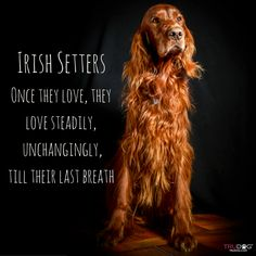 Irish Setter love I Love Dogs, Cute Dogs, Red And White Setter, Irish Setter Dogs, Gordon Setter, Irish Terrier, Irish Wolfhound, Dog Rules, Large Dogs
