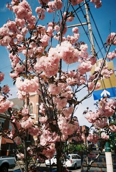 pittsburgh cherry blossoms. Bell+Howell focus free 28mm lens, 400ISO generic film