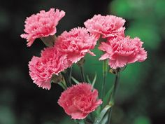 Carnations  The name comes from the Greek dianthus meaning heavenly flower. Description from pinterest.com. I searched for this on bing.com/images