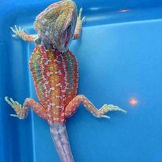 Rainbow bearded dragon