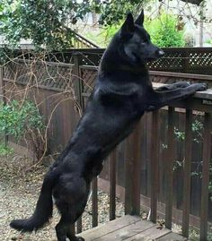 Wicked Training Your German Shepherd Dog Ideas. Mind Blowing Training Your German Shepherd Dog Ideas. Big Dogs, I Love Dogs, Cute Dogs, Dogs And Puppies, Doggies, Puppies Tips, Terrier Puppies, Funny Dogs, Funny Animals
