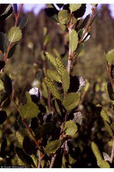 Betula glandulosa Scrub Birch. ... CONDIMENT ... from plants!