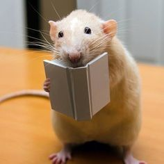 I used to have pet rats, and they are SO AWESOME! A few things though, don't get your rat from a pet store. There are rats available for adoption through many Humane Societies and rat-specific rescue groups. Also, don't give your rat chocolate. Hamsters, Rodents, Animals And Pets, Baby Animals, Funny Animals, Cute Animals, Strange Animals, Animal Pictures, Cute Pictures