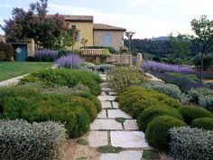 Provencal Landscape  The wide joints in the pale limestone paths create patterns and allow thyme to spread at will. Lavender provides colored accent to this muted palette.