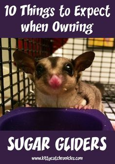 """Sugar gliders are """"squee"""" cute and lots of fun, but are they right for you? Learn the top 10 things to expect when you own sugar gliders."""