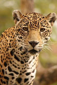 The Near Threatened Jaguar (Panthera onca) is found in the eastern part of the central states, and from northern Argentina to parts of Mexico.  -kc