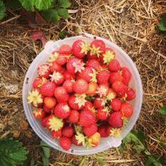 Strawberries 20130719-001049.jpg